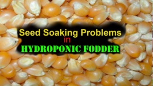Why seeds stinks/smells bad during soaking process in hydroponic fodder system …?